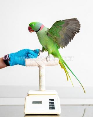 perdita di peso pappagallo